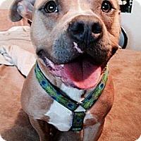 Adopt A Pet :: Darla - Irving, TX