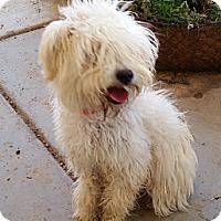 Adopt A Pet :: Taffeta - no shed! - Phoenix, AZ