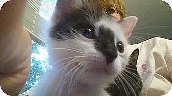 Domestic Shorthair Kitten for adoption in Media, Pennsylvania - Kippy (Special-80)