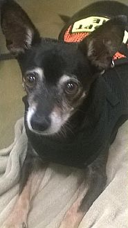 Chihuahua Mix Dog for adoption in Tucson, Arizona - Jetson