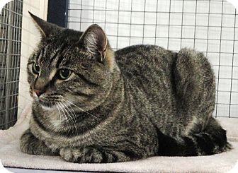 Domestic Shorthair Cat for adoption in Mission, British Columbia - Baxter