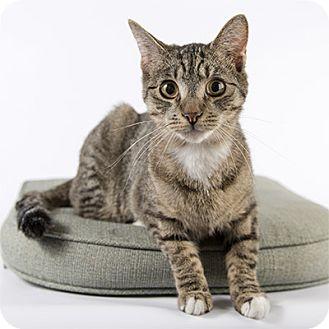 Domestic Shorthair Cat for adoption in Wilmington, Delaware - McLovin