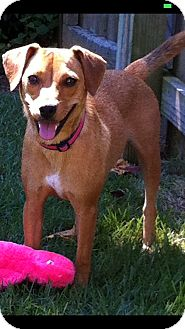 Rat Terrier/Beagle Mix Dog for adoption in Cranford, New Jersey - Mollie