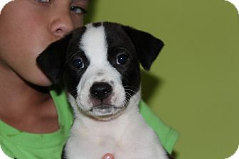 Labrador Retriever/Border Collie Mix Puppy for adoption in Harmony, Glocester, Rhode Island - Mario