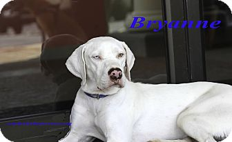 Pointer Mix Dog for adoption in Alpharetta, Georgia - Brynne