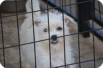 Shih Tzu/Terrier (Unknown Type, Small) Mix Puppy for adoption in Richmond, Virginia - Leah