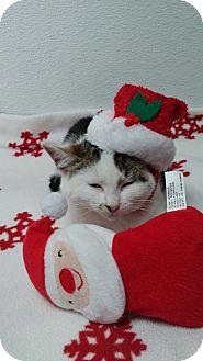 Domestic Shorthair Kitten for adoption in China, Michigan - Kringle