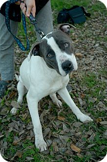 American Staffordshire Terrier Mix Dog for adoption in Houston, Texas - Emmie
