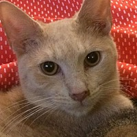 Domestic Shorthair Cat for adoption in Trenton, New Jersey - Brian