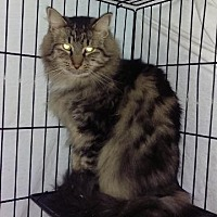 Domestic Longhair Cat for adoption in Brainardsville, New York - Apollo