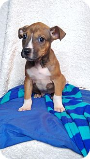 Boxer Mix Puppy for adoption in Newark, Delaware - Jose