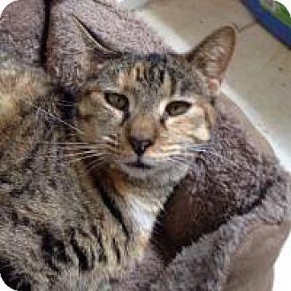 Domestic Mediumhair Cat for adoption in Hudson, Florida - Bella