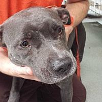Adopt A Pet :: Diva - Westminster, CA