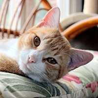 Adopt A Pet :: Cheddar - Fairfax, VA