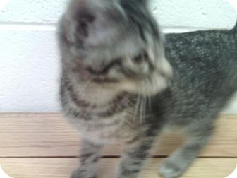 American Shorthair Cat for adoption in New Bern, North Carolina - Castor Oyl