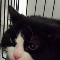Domestic Longhair/Domestic Shorthair Mix Cat for adoption in Winona, Minnesota - Baby Squeaks