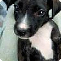 Adopt A Pet :: Lil bit - Patterson, NY