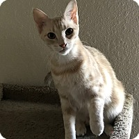 Domestic Shorthair Cat for adoption in Pearland, Texas - Cairo