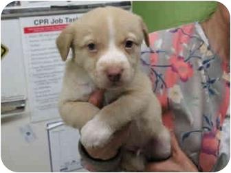 Australian Shepherd Mix Puppy for adoption in Kingwood, Texas - Riley