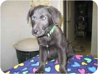 Shepherd (Unknown Type) Mix Puppy for adoption in Florence, Indiana - Dugan