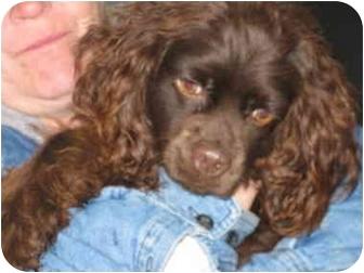 Cocker Spaniel Dog for adoption in Lexington, Missouri - Hershey