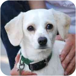 Beagle Mix Dog for adoption in Berkeley, California - Snow