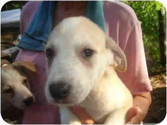 Labrador Retriever/Shiba Inu Mix Puppy for adoption in Old Bridge, New Jersey - Mick