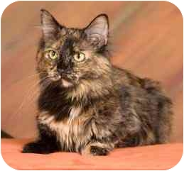 Domestic Longhair Cat for adoption in Columbia, Illinois - Rosie