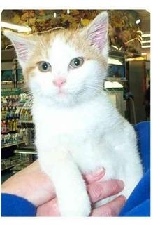 Domestic Shorthair Kitten for adoption in Acme, Pennsylvania - Denny
