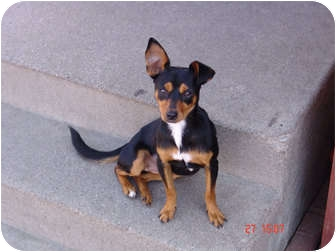Miniature Pinscher/Chihuahua Mix Dog for adoption in West Los Angeles, California - Lola