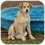 Photo 2 - Labrador Retriever Mix Dog for adoption in Plainfield, Connecticut - Nancy...Reduced fee $300