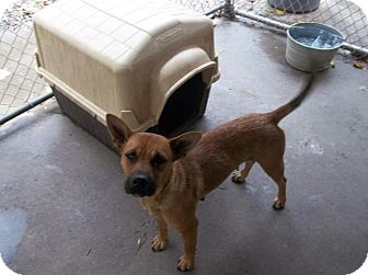 Carolina Dog Mix Dog for adoption in Henderson, North Carolina - Leah