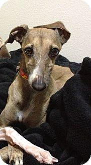 Italian Greyhound Dog for adoption in Costa Mesa, California - Rico - SD