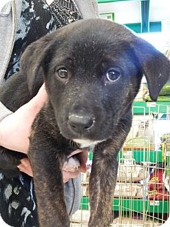 Labrador Retriever/German Shepherd Dog Mix Puppy for adoption in Garden City, Michigan - Poundcake
