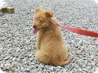 Australian Shepherd/Labrador Retriever Mix Puppy for adoption in Lawrenceburg, Tennessee - Alli