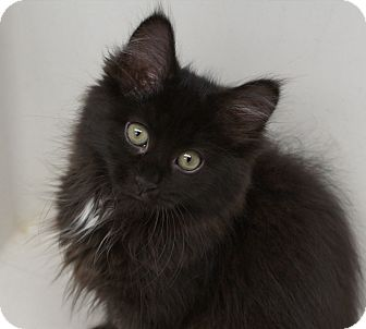 Domestic Longhair Kitten for adoption in Naperville, Illinois - Penelope