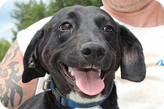 Dachshund/Labrador Retriever Mix Puppy for adoption in Washington, D.C. - Briana URGENT