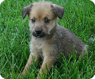 Norfolk Terrier/Schnauzer (Standard) Mix Puppy for adoption in Naperville, Illinois - Olivia