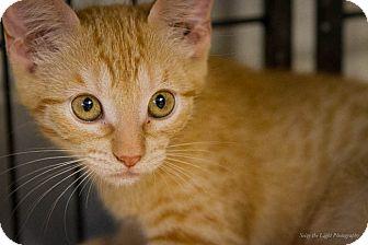 Domestic Shorthair Kitten for adoption in Bulverde, Texas - Jazz