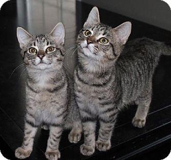Domestic Shorthair Cat for adoption in Bear, Delaware - Middletown Boys