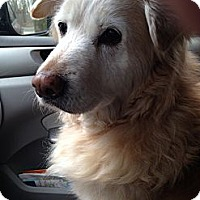 Adopt A Pet :: Goldy - New Canaan, CT