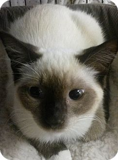 Siamese Cat for adoption in Forest Hills, New York - Beauty