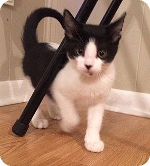 Domestic Shorthair Kitten for adoption in McHenry, Illinois - Tux