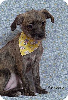 Terrier (Unknown Type, Small) Mix Puppy for adoption in Kerrville, Texas - Aurora