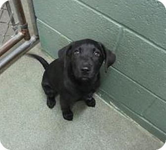 Labrador Retriever Mix Puppy for adoption in Barnegat, New Jersey - Star