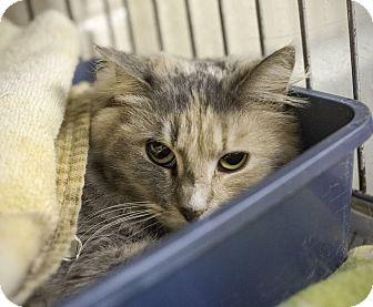 Domestic Mediumhair Cat for adoption in Henderson, North Carolina - Ruby