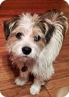 Jack Russell Terrier Mix Dog for adoption in Vista, California - Hunter