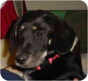 Border Collie/German Shepherd Dog Mix Puppy for adoption in Carrollton, Texas - Bekkah