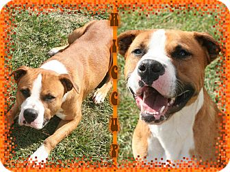 Hound (Unknown Type)/Pit Bull Terrier Mix Dog for adoption in Tampa, Florida - Hiccup