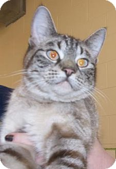 Domestic Shorthair Cat for adoption in Rapid City, South Dakota - George